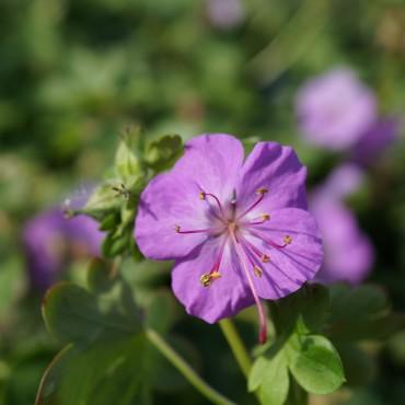 Geranium cantabriense 'Karmina'