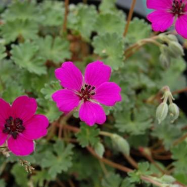 Geranium cinereum 'Signal' (deep pink)