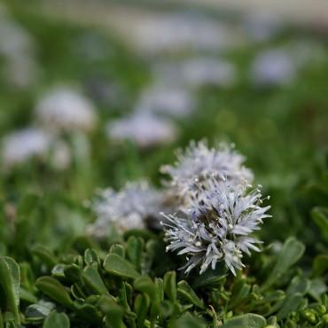 Globularia cordifolia 'Nana'