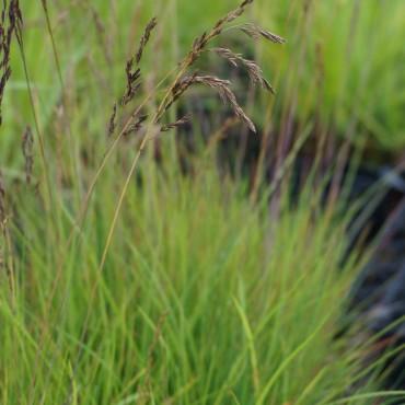 Andropogon scoparius (Schizachyrium)