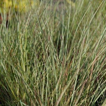 Andropogon scoparius 'Prairie Blues'