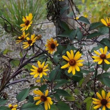 Heliopsis helianthoïdes var. scabra 'Summer Nights'