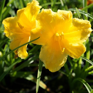 Hemerocallis 'Stella de Oro'