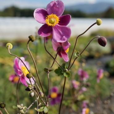 Anemone hupehensis Jap. Praecox