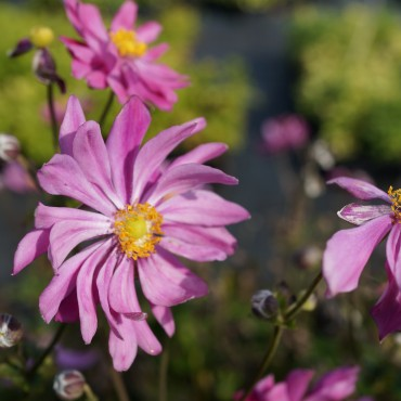 Anemone japonica 'Pamina'
