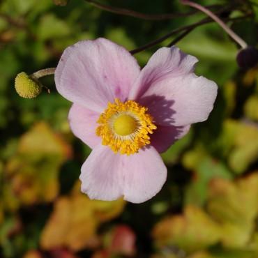 Anemone japonica 'September Charm'