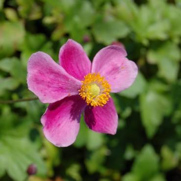 Anemone japonica 'Splendens'