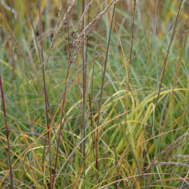 Miscanthus sinensis 'Adagio'