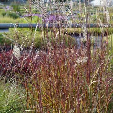 Miscanthus sinensis 'Purple fall'