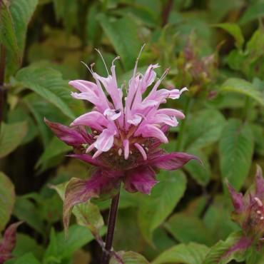 Monarda Croftway Pink'