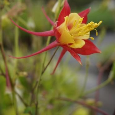 Aquilegia caerulea 'Music Red and Gold'