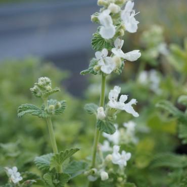 Nepeta racemosa 'Snowflack'