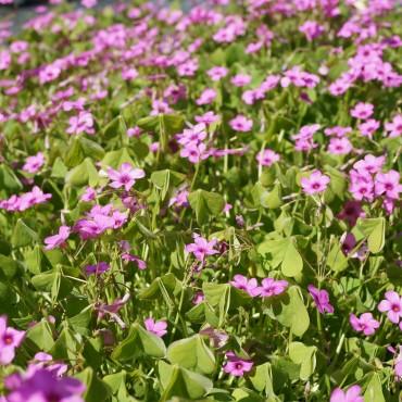 Oxalis floribunda