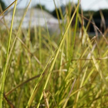 Pennisetum alopecuroïdes 'Viridescens'