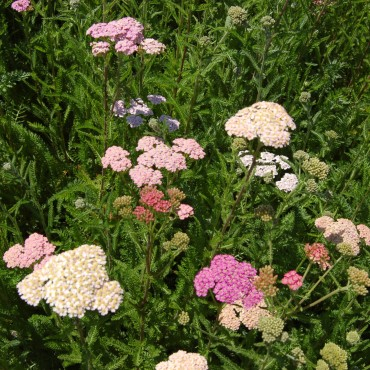 Achillea millefolium 'Colorado Mix'