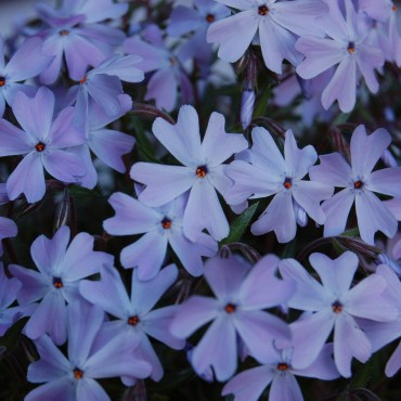 Phlox subulata 'Emerald Cushion'