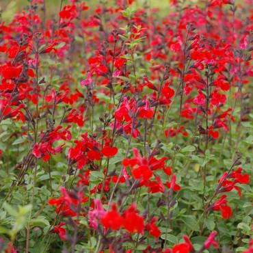 Salvia grahamii 'Royal Bumble'