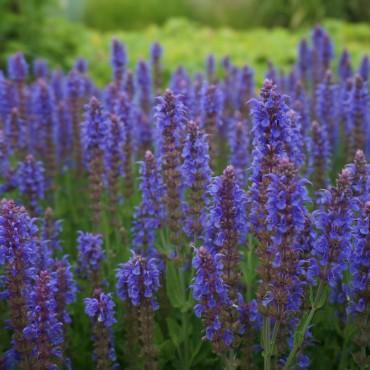 Salvia nemerosa 'Blauhügel'