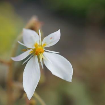 Saxifraga sarmentosa (stolonifera)