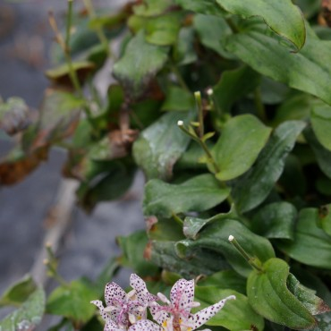 Tricyrtis formosa 'Purple Beauty'