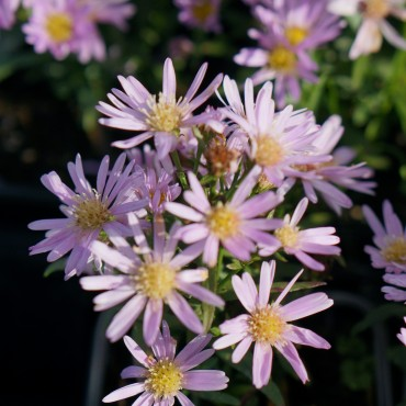 Aster ericoïdes 'Cyrille'