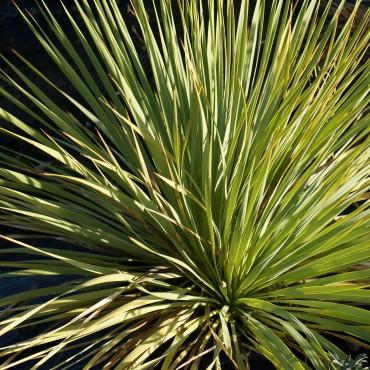 Yucca rostrata 'Sapphire...