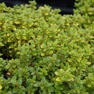 Thymus citriodorus 'Bertram Anderson'