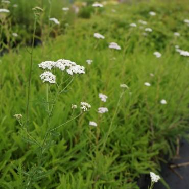 Achillea millefolium 'White...