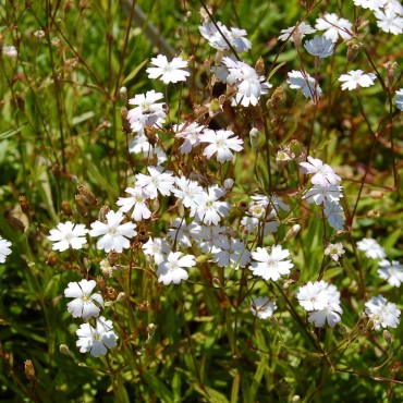 Silene uniflora 'Robin white Breast'