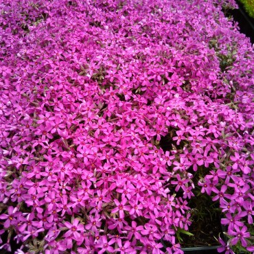 Phlox subulata 'Red Wings'
