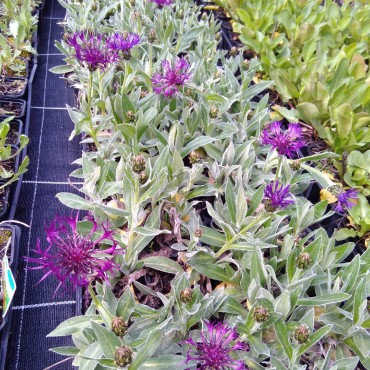 Centaurea montana 'Amethyst Dream'