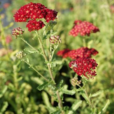 Achillea millefolium'Red Velvet'