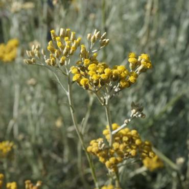 Helichrysum angustifolium 'Dwarf Curry'