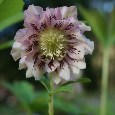 Helleborus orientalis 'Pink spotted Lady'