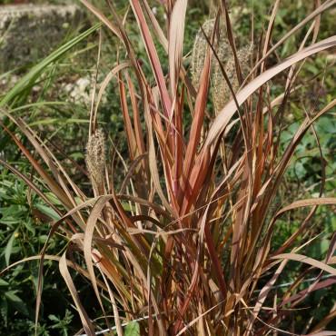 Miscanthus sinensis 'Ghana'