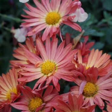 Chrysanthemum rubellum / indicum 'Dernier soleil'