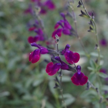 Salvia greggii violette