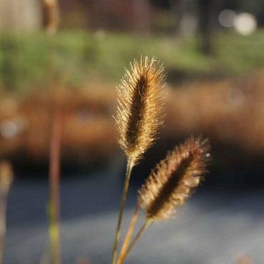 Pennisetum thunbergii 'Red Buttons' /messiacum 'Red Buttons'