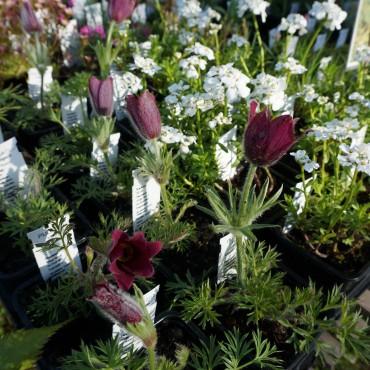 Anemone pulsatilla vulgaris 'Rubra'