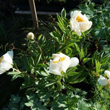 Paeonia lactiflora 'Clair de Lune'