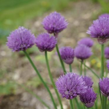 Allium schoenoprasum