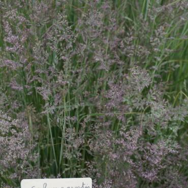 Calamagrostis acutiflora...