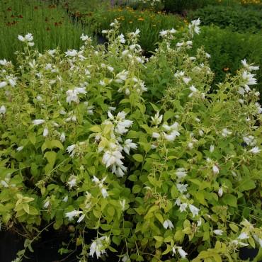 Campanula latifolia macrantha 'Alba'