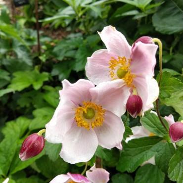 Anemone japonica tomentosa 'Robustissima'