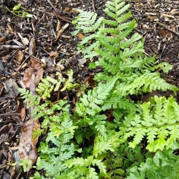 Dryopteris affinis polydactyla 'Dadds'
