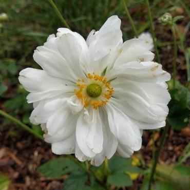 Anemone japonica 'Whirlwind'