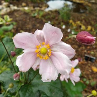 Anemone japonica 'Queen Charlotte'
