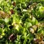 6 Salades mesclun asiatique