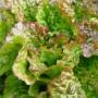 6 Salade batavia rouge...