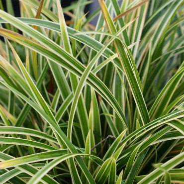 Carex morrowi 'Ice Dance'